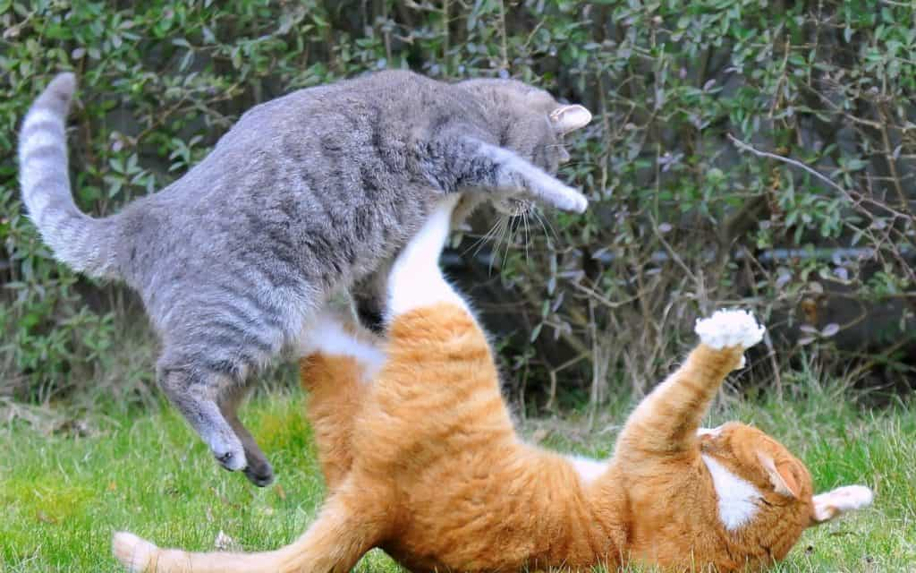 how to stop my cat from bullying my other cat?