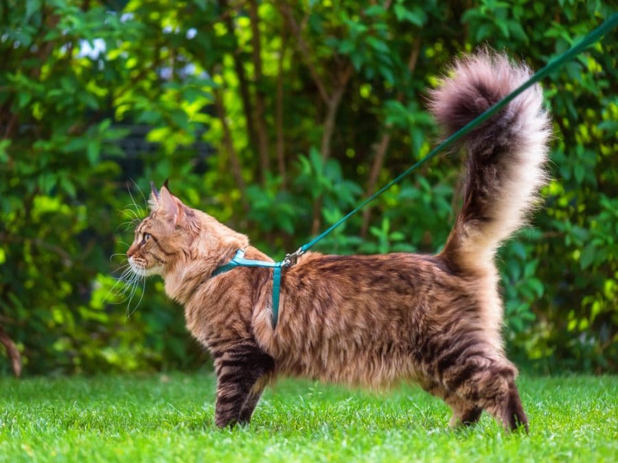 walking your cat