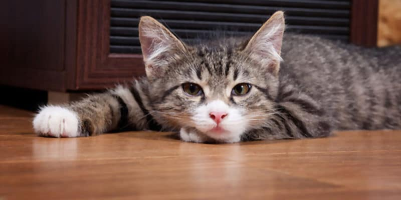 Kidney Disease in Cats When to Euthanize.