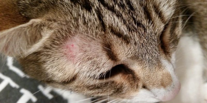 home remedies for ringworm in cats