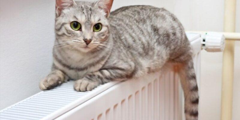 Do Cats Bleed When In Heat