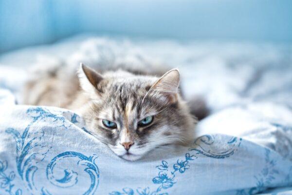 feline heat cycle