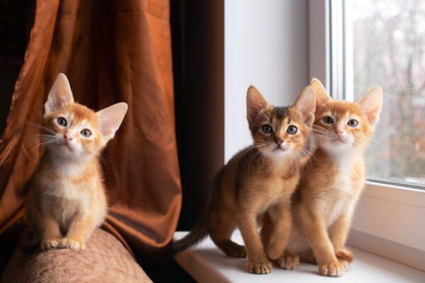 how often do cats need rabies shots