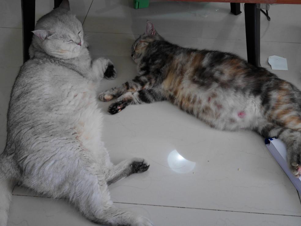 nursing cat nipples