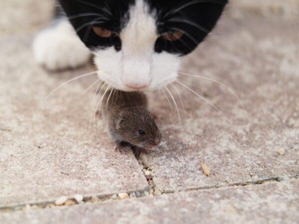 hunting pet cat